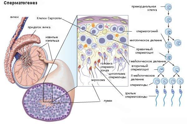 anomalii-stroeniya-spermatozoidov