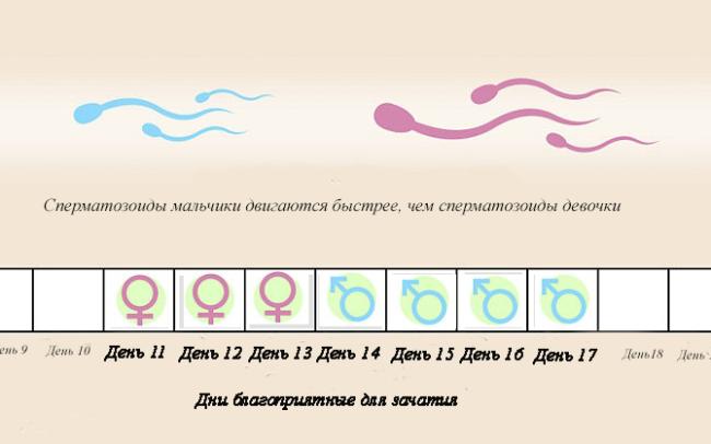 cherez-skolko-obnovlyayutsya-spermatozoidi
