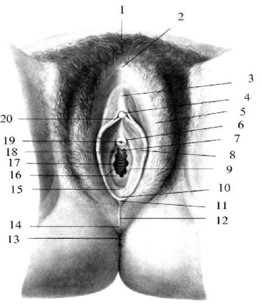 вспоминая анатомия женских половых органов видео что вам нужно